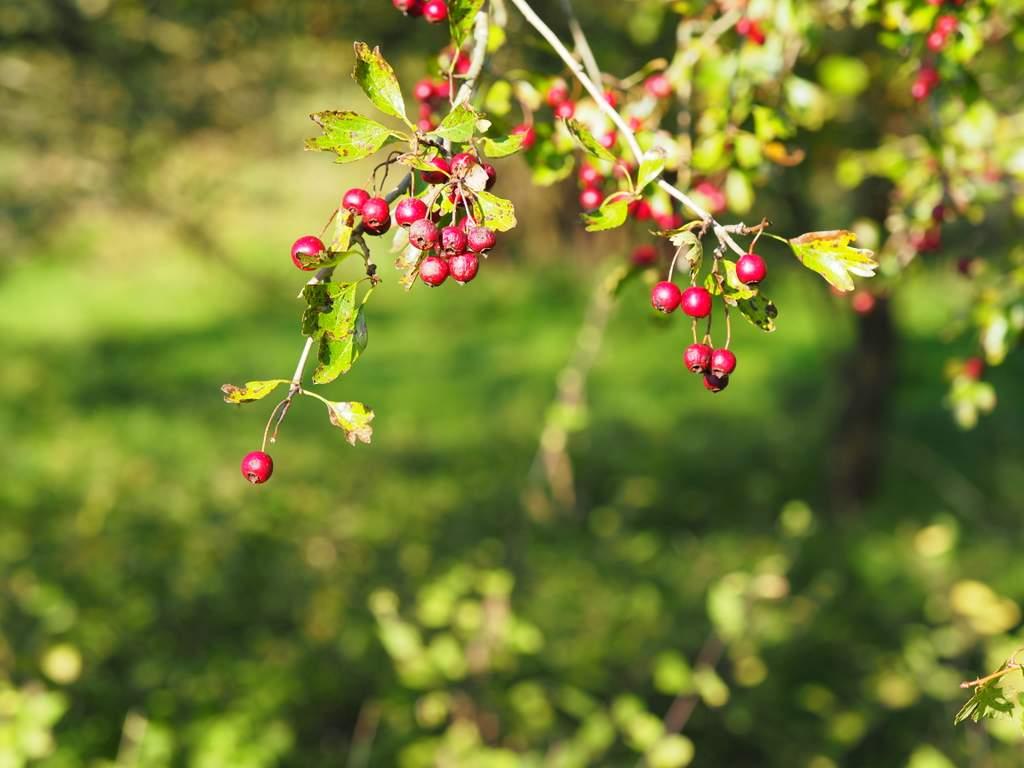 Früchte des Weißdorn
